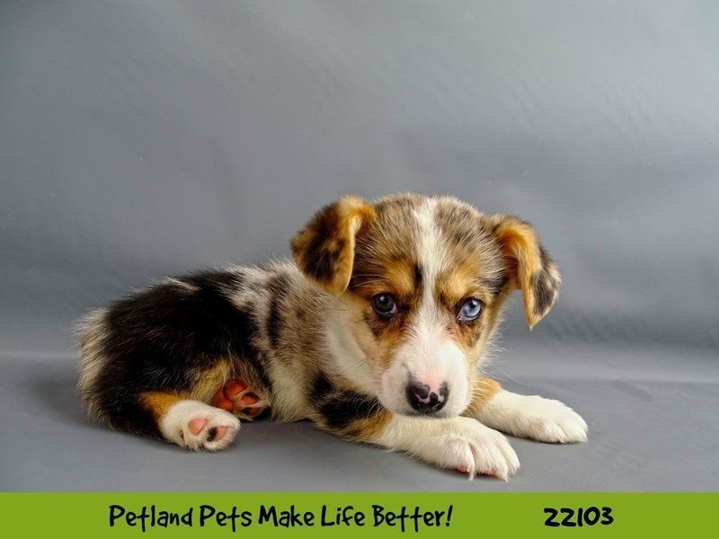 Auggie-DOG-Female-Blue Merle-2352689-Petland Naperville