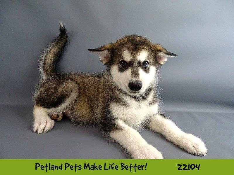 Alaskan Malamute-DOG-Female-Hazel-2352880-Petland Naperville