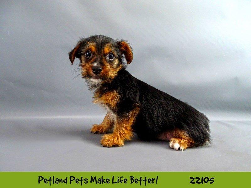 Yorkshire Terrier-Male-Blk/Tan-2352944-Petland Naperville