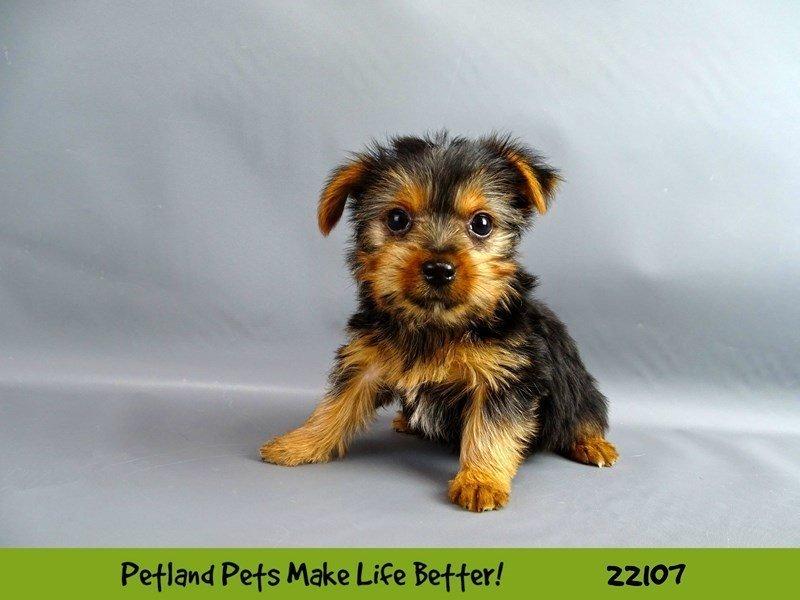 Yorkshire Terrier-Female-Blk/Tan-2353037-Petland Naperville