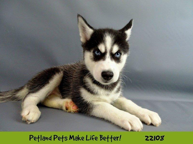 Siberian Husky-Female-Blk/Wht-2353091-Petland Naperville