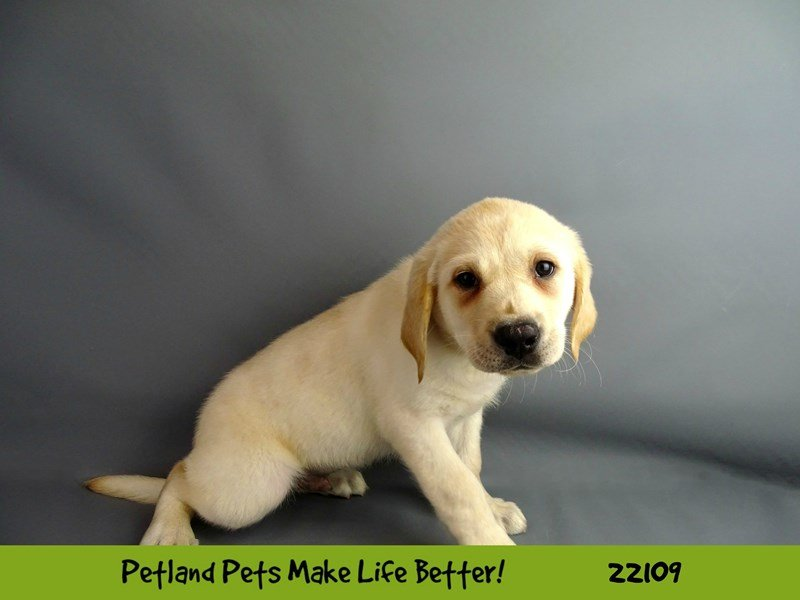 Labrador Retriever-Male-yellow-2353138-Petland Naperville