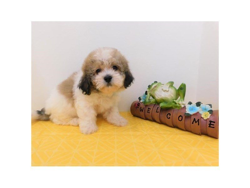 Teddy Bear-Male-Gold / White-2357992-Petland Naperville