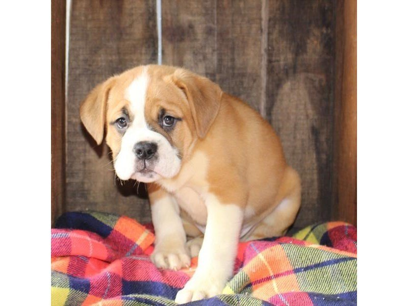 Valley Bulldog-Male-Red / White-2358618-Petland Naperville