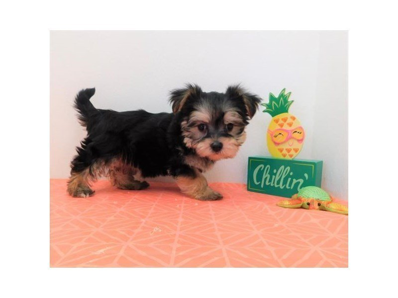 Morkie-Female-Black / Tan-2358631-Petland Naperville