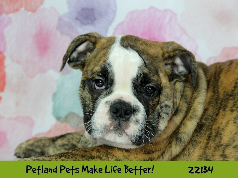 Victorian Bulldog/English Bulldog-DOG-Male--2359480-Petland Naperville
