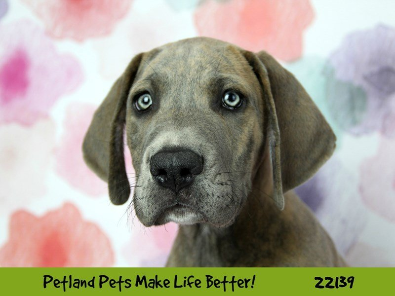 Great Dane-Male--2359491-Petland Naperville