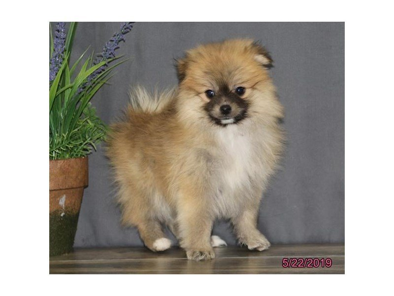 Pomeranian-DOG-Female-Sable-2362997-Petland Naperville
