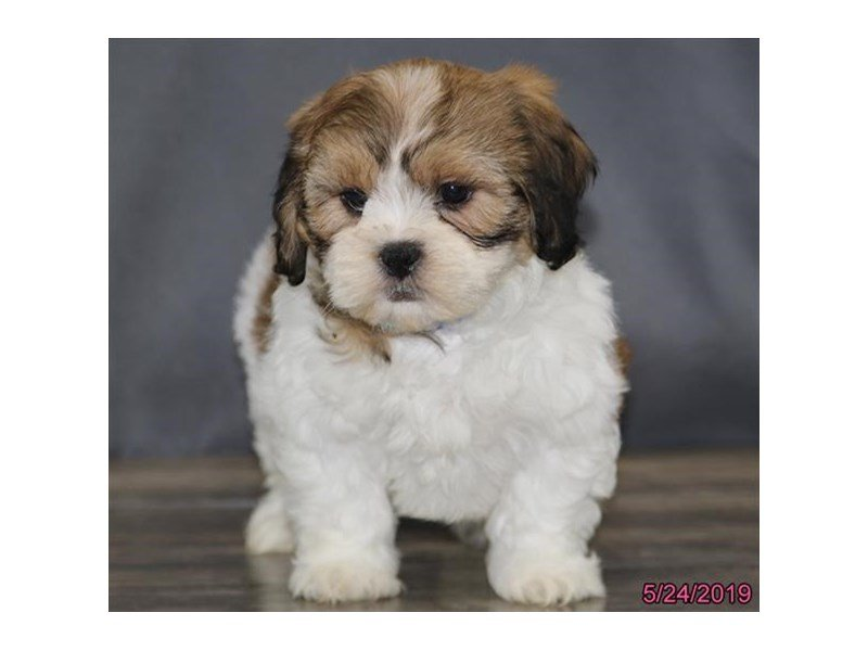Zuchon-DOG-Female-White / Sable-2363074-Petland Naperville