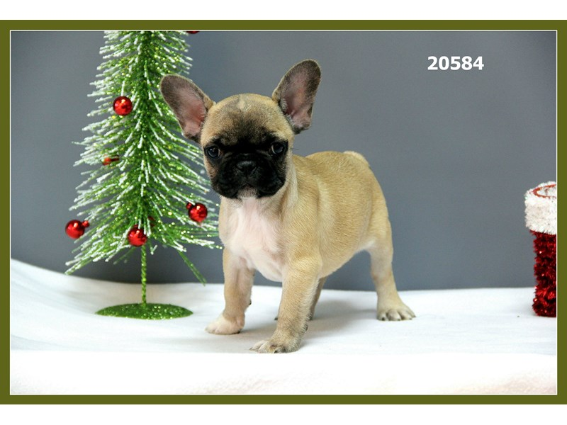 French Bulldog-Female-Fawn-1970233-Petland Naperville