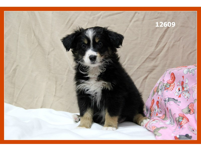 Miniature Australian Shepherd-DOG-Male-Black Tri-1983389-Petland Naperville