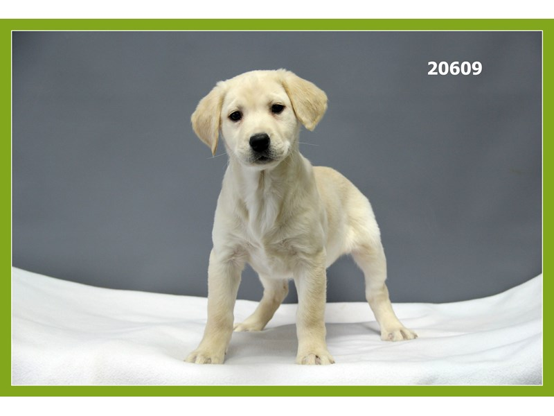 Labrador Retriever-Female-Yellow-1977921-Petland Naperville
