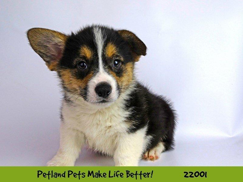Pembroke Welsh Corgi-DOG-Male-Blk Tri-2326071-Petland Naperville