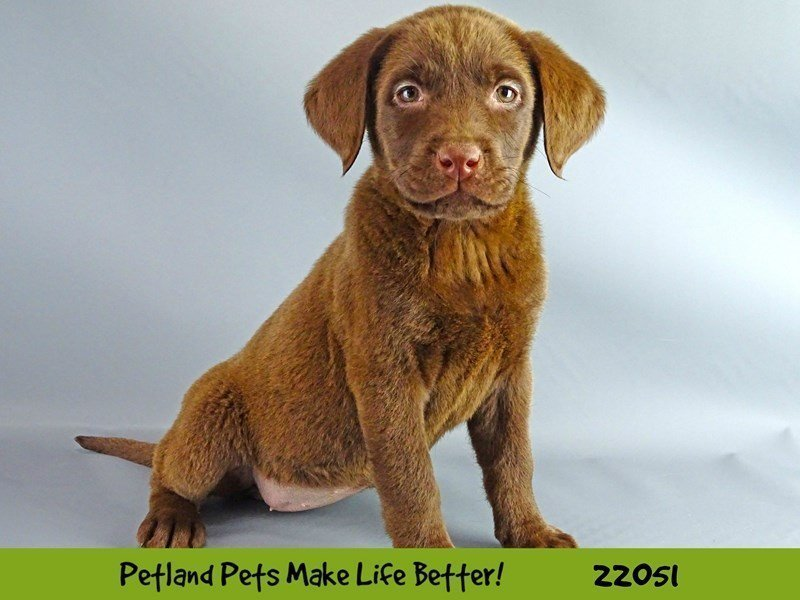 Labrador Retriever-DOG-Female-Chocolate-2336517-Petland Naperville