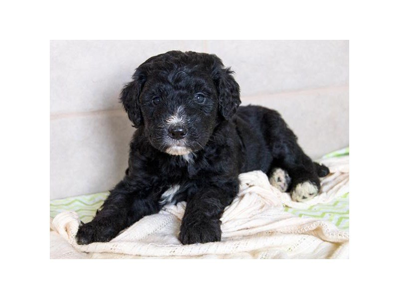 Bernadoodle-DOG-Female-Black / White-2342090-Petland Naperville