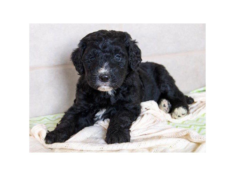 Bernadoodle-DOG-Female-Black / White-2342090-Petland Naperville