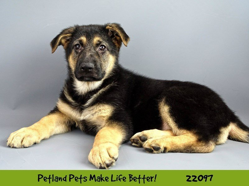 German Shepherd-Female-Blk/Tan-2347301-Petland Naperville