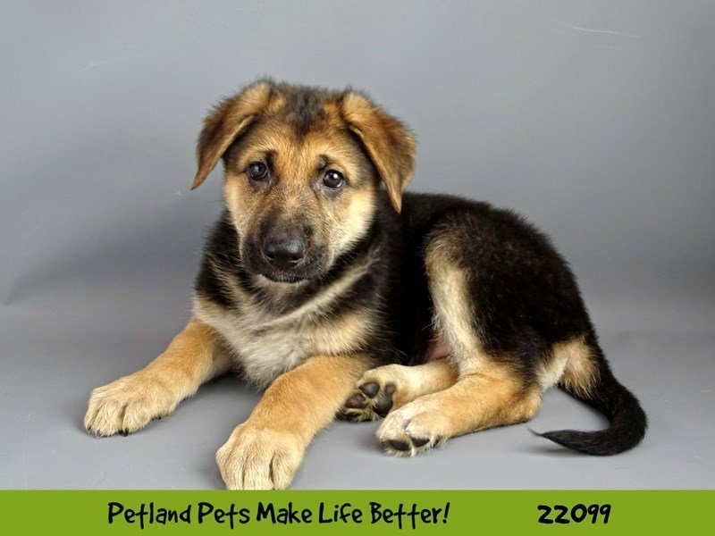 German Shepherd-Female-Blk/Tan-2347441-Petland Naperville