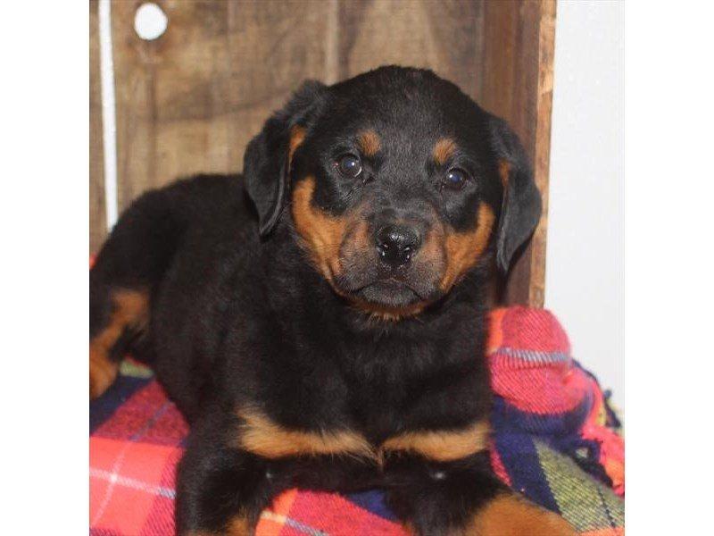 Rottweiler-Female-Black / Mahogany-2353218-Petland Naperville