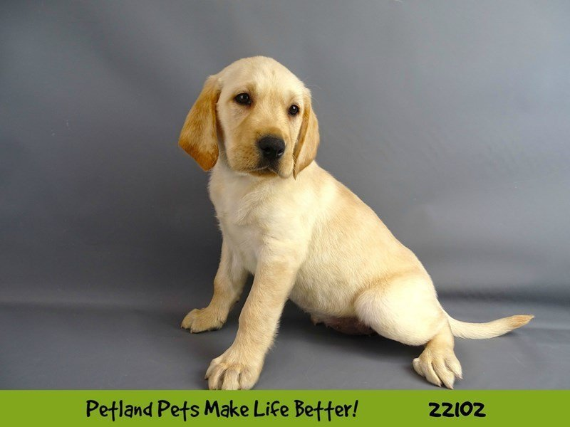 Labrador Retriever-Female-Yellow-2352642-Petland Naperville