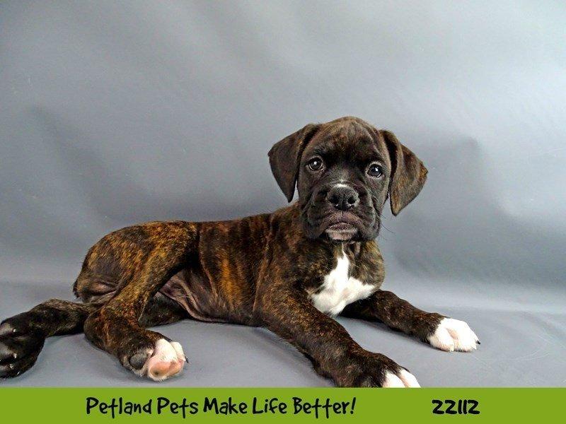Boxer-Male-Brindle-2353223-Petland Naperville