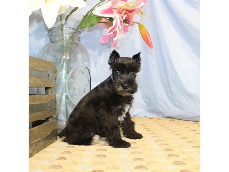 Miniature Schnauzer-Female-Black-2357947-Petland Naperville