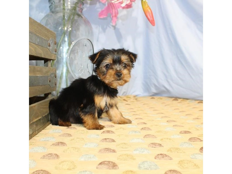 Yorkshire Terrier-Female-Black / Tan-2358628-Petland Naperville