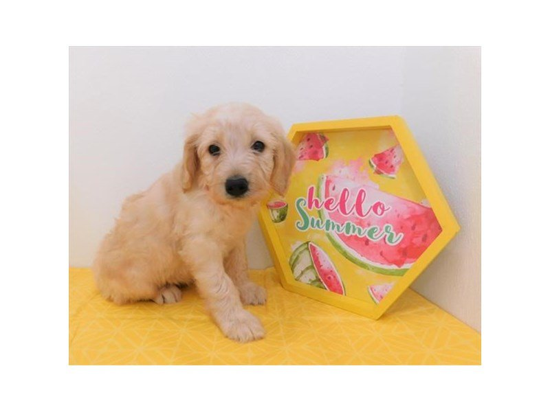 Goldendoodle-Female-Light Golden-2358629-Petland Naperville