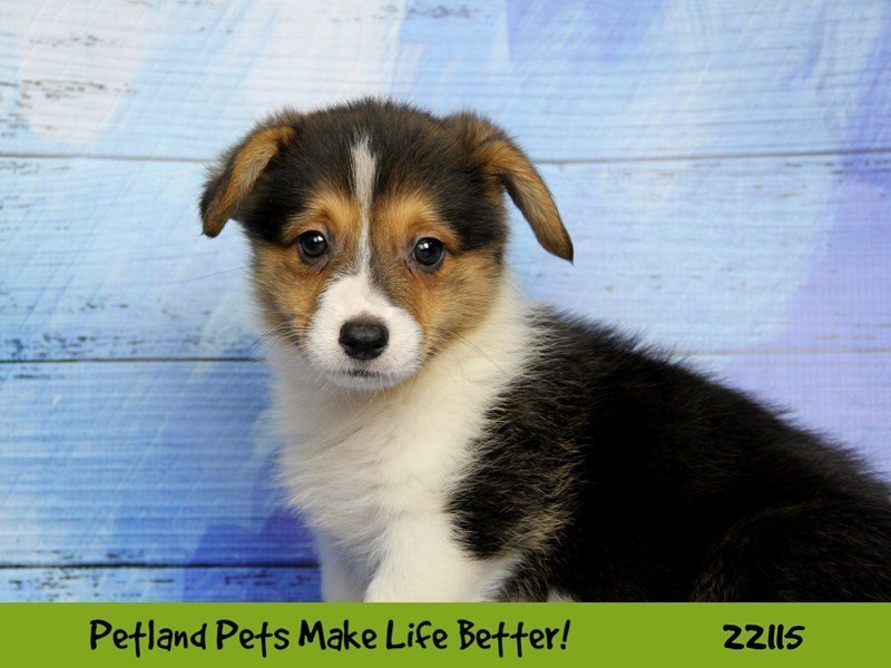 Pembroke Welsh Corgi-DOG-Female-black tri-2358179-Petland Naperville