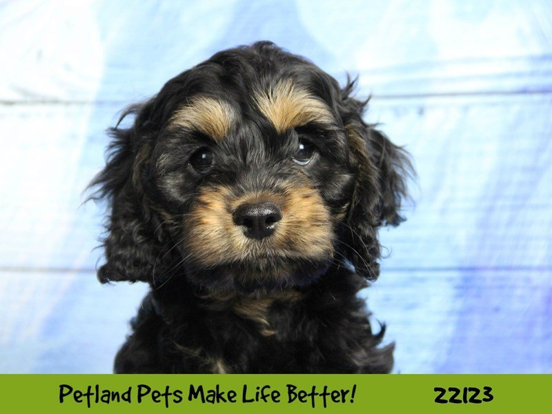 Cockapoo-DOG-Male--2358499-Petland Naperville