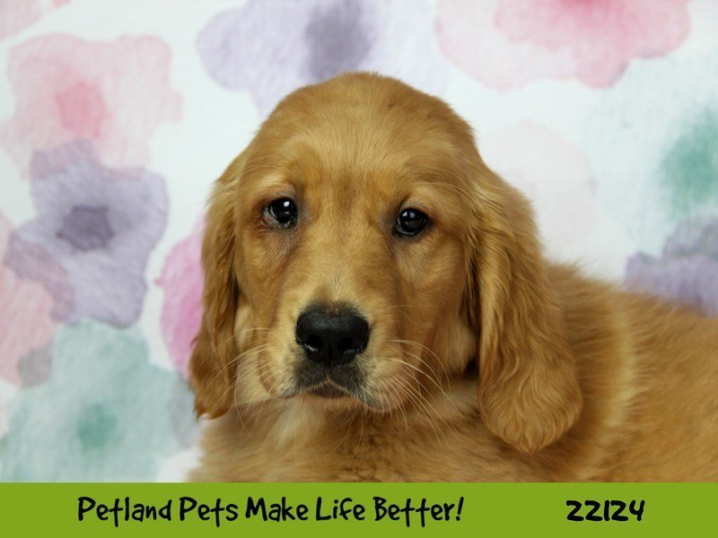 Golden Retriever-Female--2358572-Petland Naperville