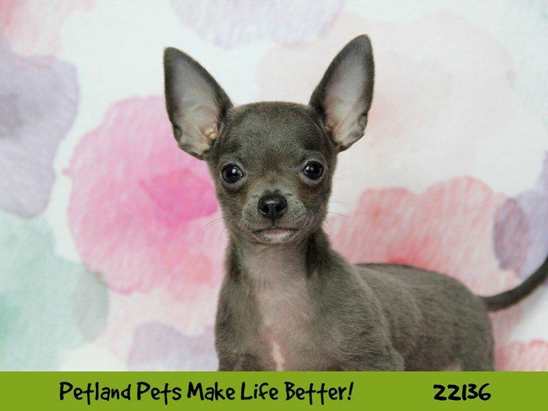 Chihuahua-DOG-Male--2359484-Petland Naperville