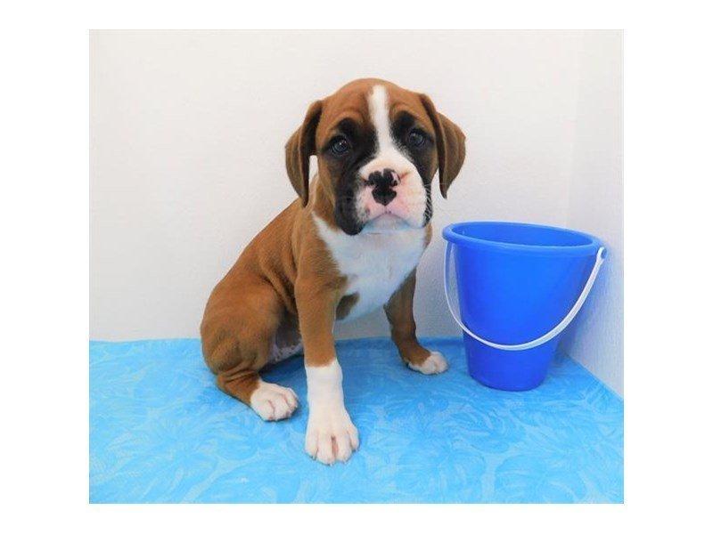 Boxer-DOG-Female-Fawn-2363067-Petland Naperville
