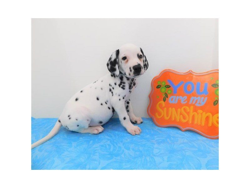 Dalmatian-DOG-Male-White / Black-2363068-Petland Naperville
