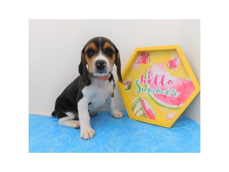 Beagle-Male-Black White / Tan-2363081-Petland Naperville
