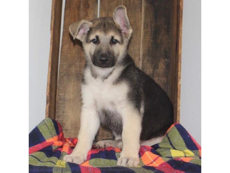 German Shepherd Dog-Male-Black / Tan-2363768-Petland Naperville
