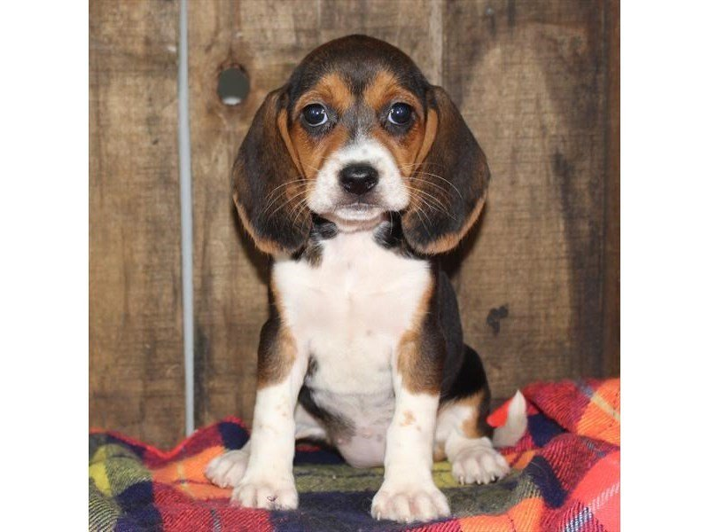 Beagle-Female-Black White / Tan-2363770-Petland Naperville
