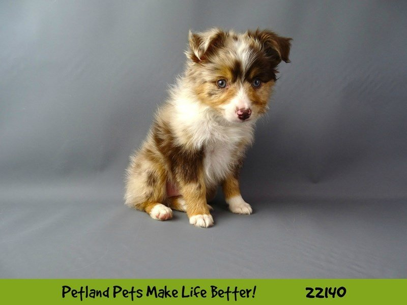 Mini Australian Shepherd-DOG-Male--2363093-Petland Naperville