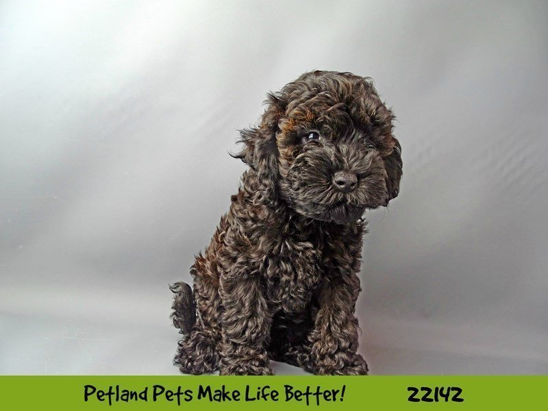 F1B Mini Goldendoodle-DOG-Female-Black-2363166-Petland Naperville