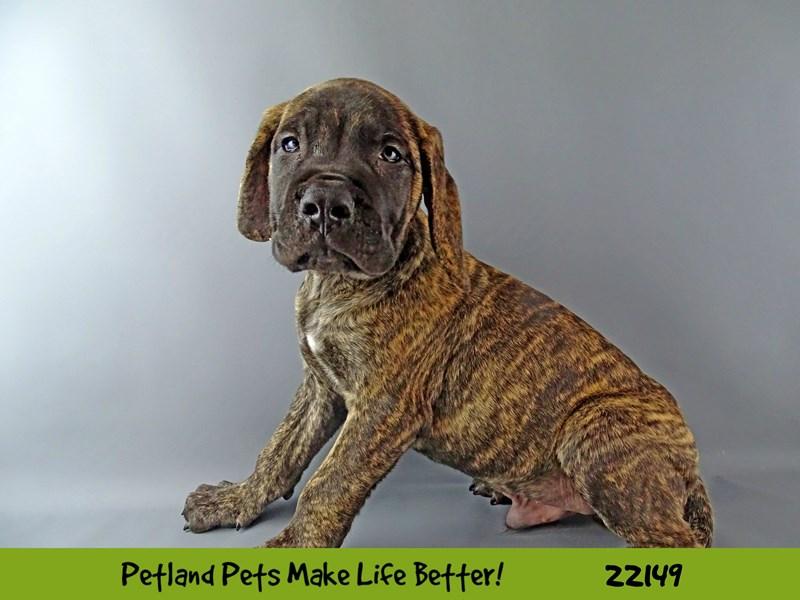 Mastiff-Male-Brindle-2362994-Petland Naperville
