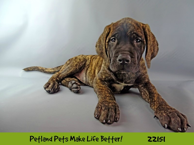 Mastiff-Female-Brindle-2362993-Petland Naperville