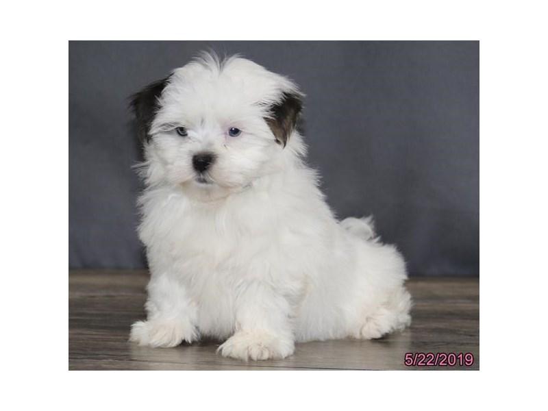 Malshi-DOG-Female-Gray / White-2368470-Petland Naperville