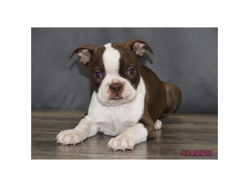 Boston Terrier-DOG-Female-Red / White-2368471-Petland Naperville