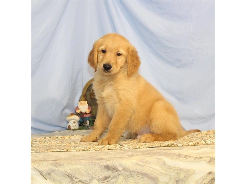 Golden Retriever-Male-Golden-2368474-Petland Naperville