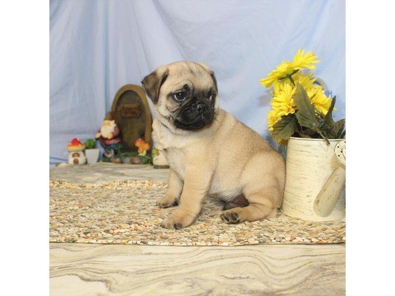 Pug-DOG-Male-Fawn-2368475-Petland Naperville