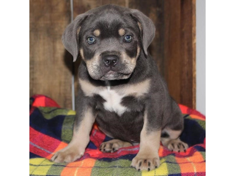 Cane Corso-DOG-Male-Blue / Tan-2368483-Petland Naperville