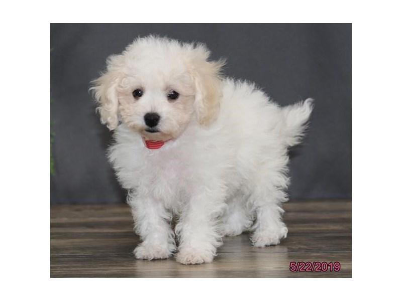Bichon Frise-DOG-Female-White-2368494-Petland Naperville