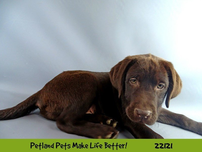 Labrador Retriever-Female--2358310-Petland Naperville