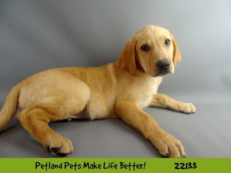 Labrador Retriever-Male-yellow-2358150-Petland Naperville