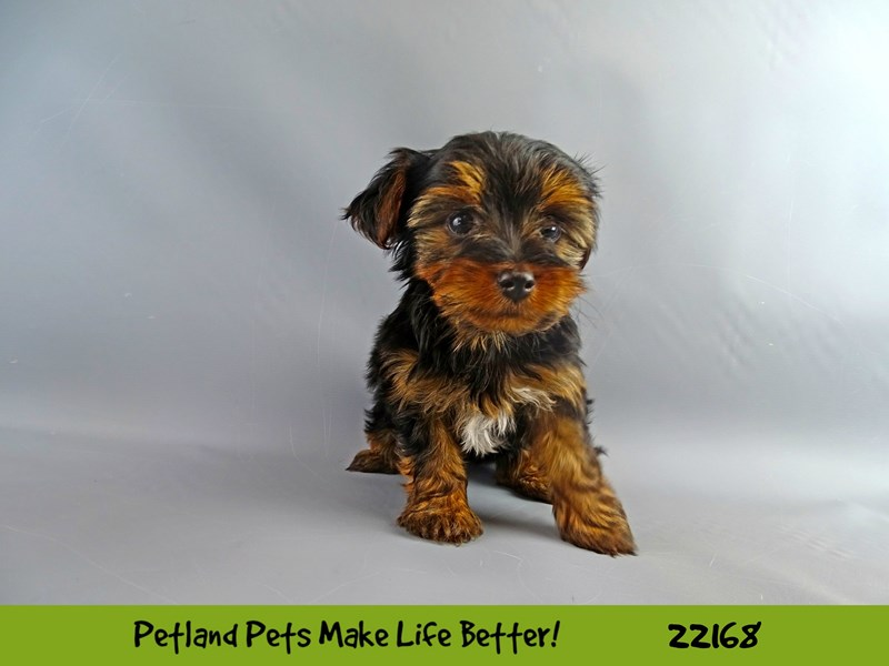 Yorkshire Terrier-Female-Blk/Tan-2368570-Petland Naperville